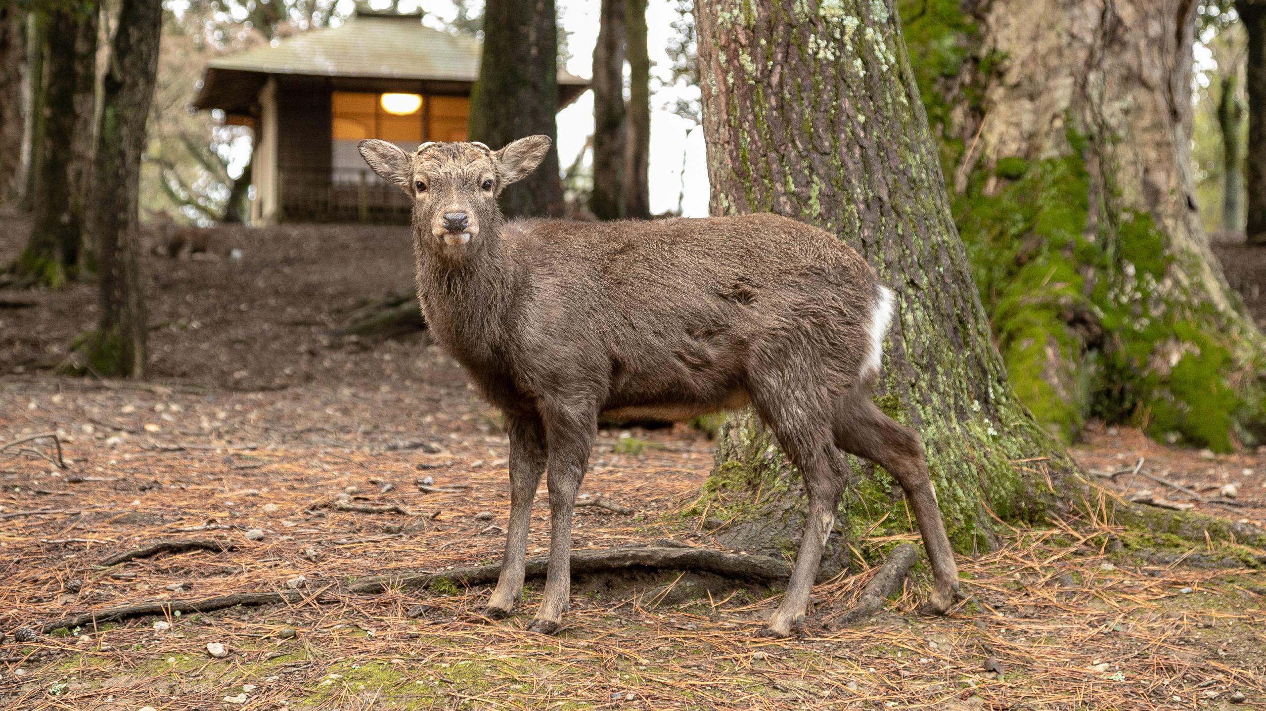 [旅行記] 鹿、鹿、鹿。奈良駅から春日大社まで歩いて行ったよ