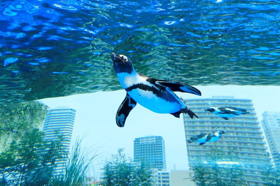 4月25日は「世界ペンギンの日」 サンシャイン水族館で特別プログラムやイベントが開催
