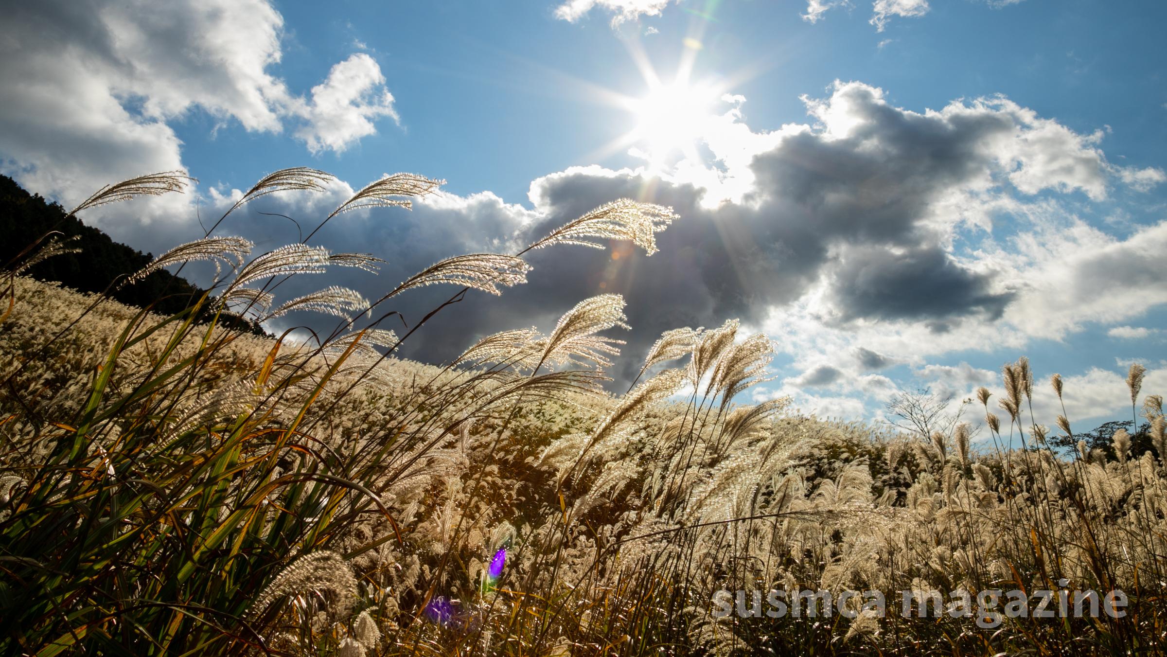 [黄金色の絨毯]すすき草原|2020年11月4日の現地を取材(箱根・仙石原)