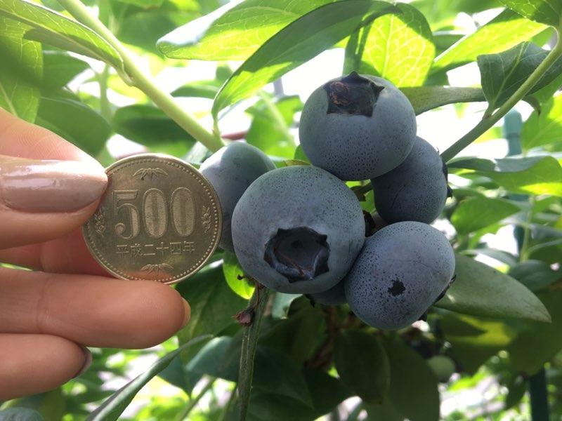 《厚木》完全予約制のブルーベリー摘み取り観光農園「Blueberry HILLS あつぎ」がオープン!