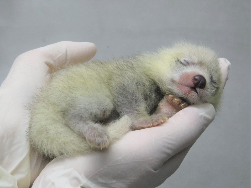 《キュン死注意》レッサーパンダの聖地、静岡市立日本平動物園で赤ちゃんが誕生